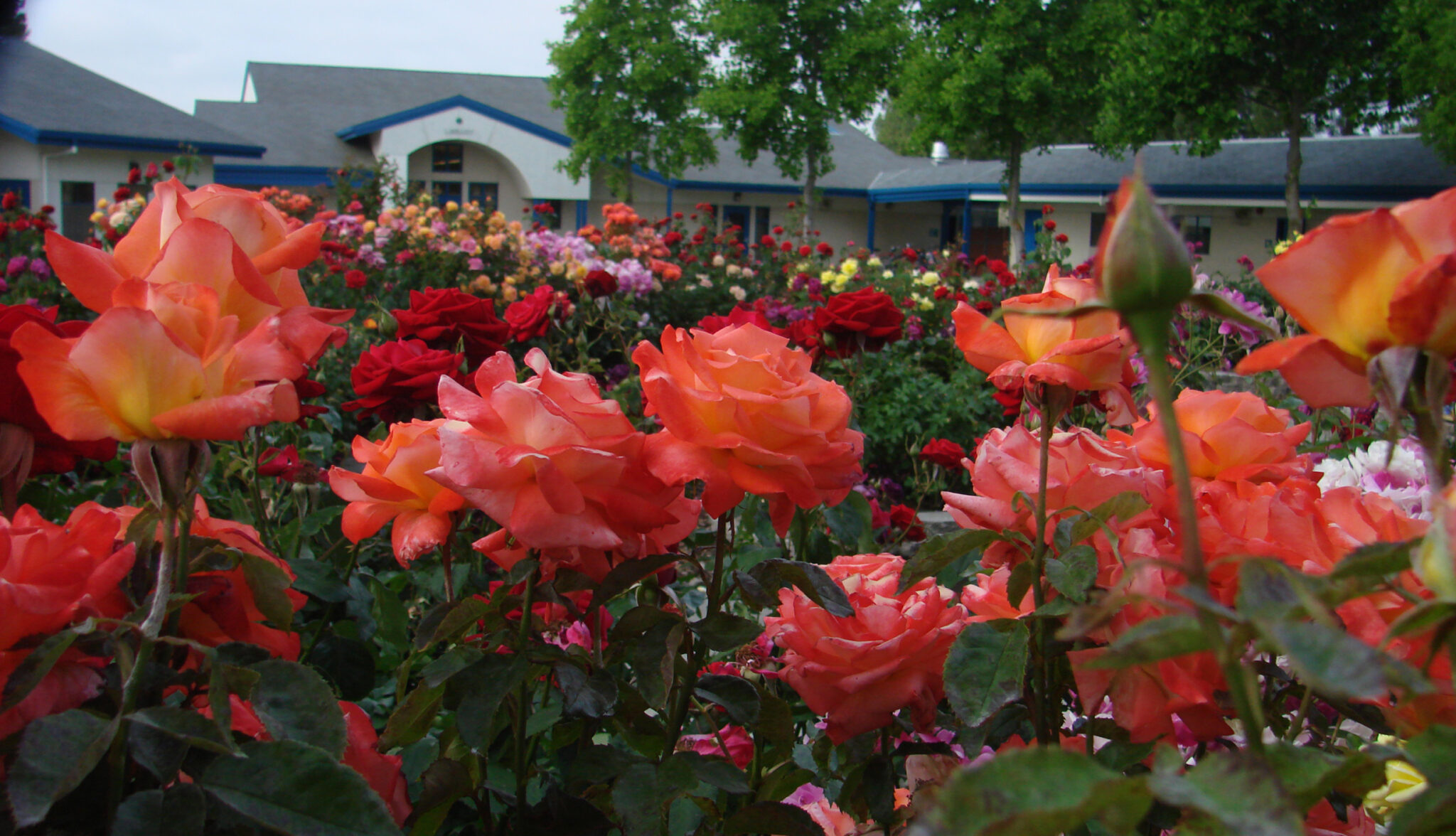 Orange roses in front of Southport School