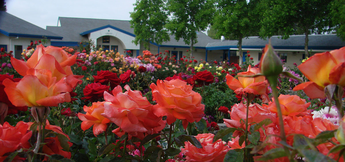 Southport Elementary School World Peace Rose Garden