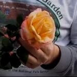 Fixing Damaged Petals at the End of Season roses