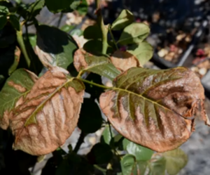 Leaf Burn Cure On Roses