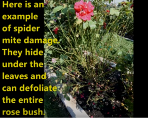 Spider Mite Damage Control